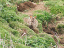 Red Grouse on COlder Rabbit, Black Hambleton