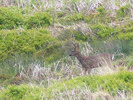Red Grouse on Carlton Moor (1 of 2)